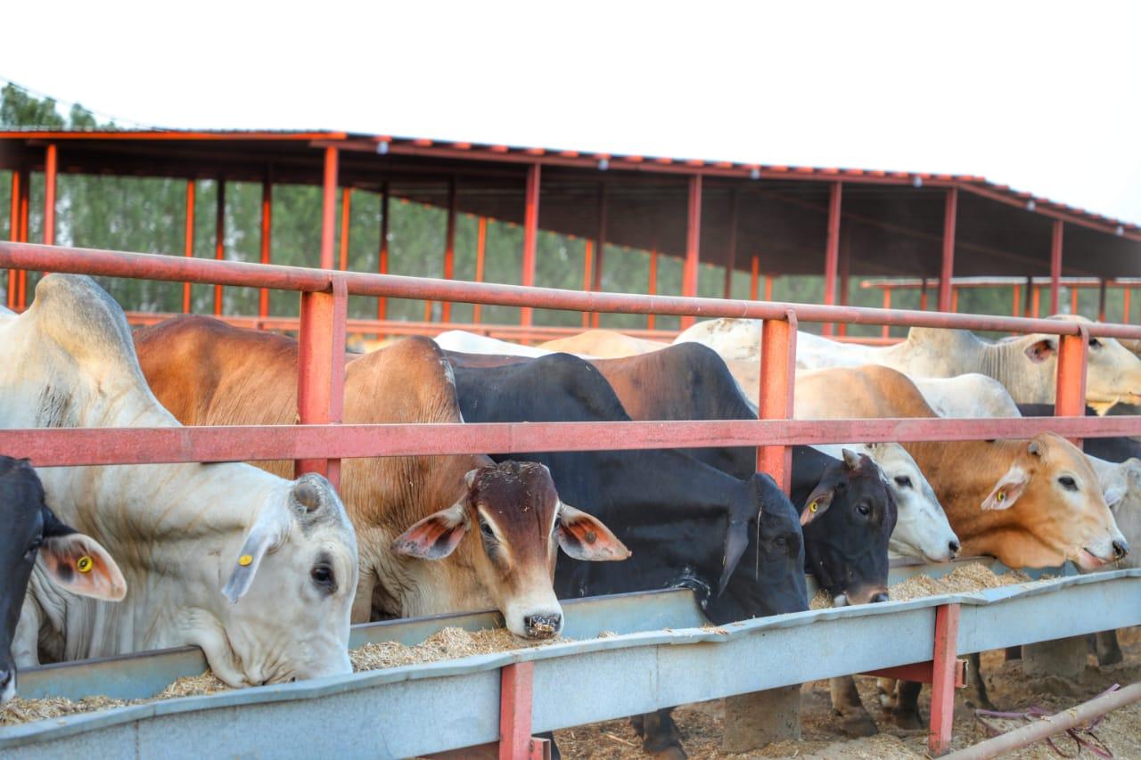 ميناء جازان يستقبل شحنتي أبقار برازيلية